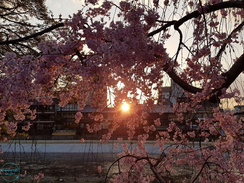 Flori de cires Japonia